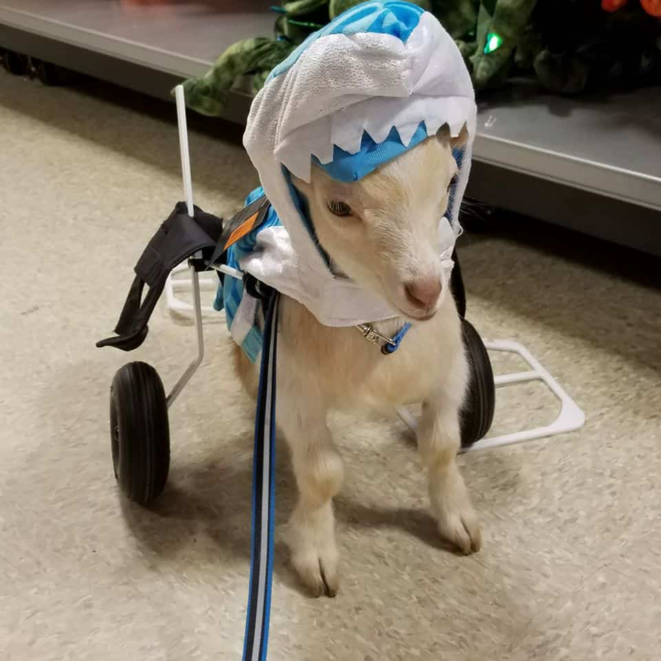 Champ Goat in Wheelchair Halloween
