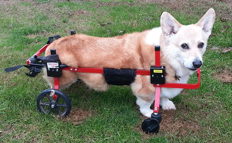 Corgin in Fully Supportive K9 Cart