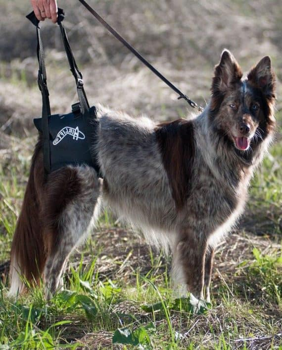 Airlift harness on dog.