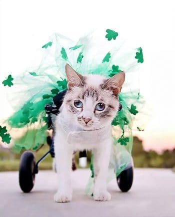 Cat Wheelchair St. Patricks Day