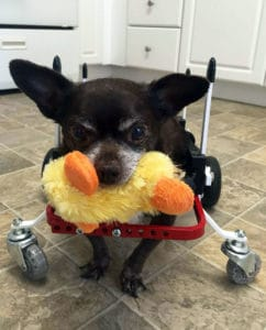 Chihuahua in a Full Support Dog Wheelchair by K9 Carts