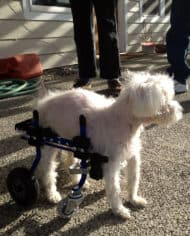 poodle_full_support_wheelchair