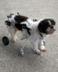 shih_tzu_full_support_wheelchair