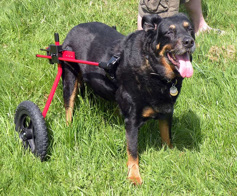 Rottweiler in new K9 Cart Dog Wheelchair