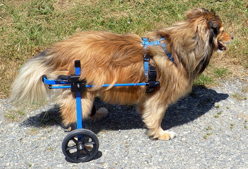 Sheltie in K9 Cart Dog Wheelchair