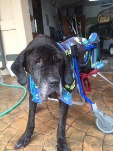 Black Lab in Wheelchair